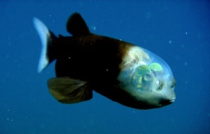 090223-01-fish-transparent-head-barreleye-pictures_big
